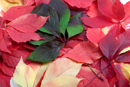 Background of multicolor autumn leafs. Virginia creeper leaves.