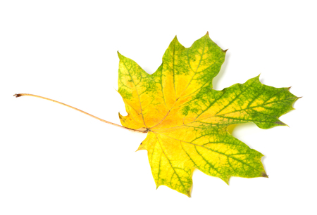 wizen: Yellowed multicolor autumn maple-leaf. Isolated on white background