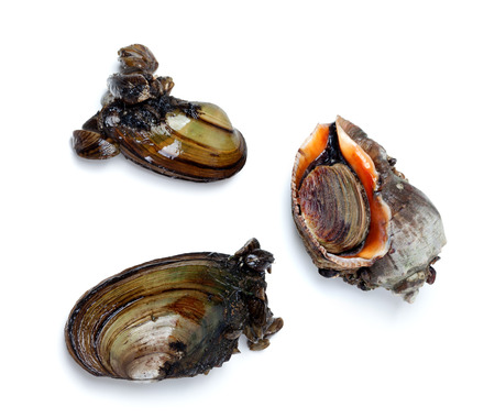 veined: Two river mussels (Anodonta) and veined rapa whelk. Isolated on white background.