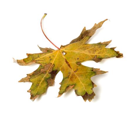 wizen: Autumn dry leaf isolated on white background Stock Photo