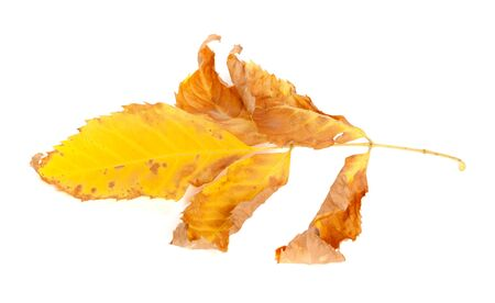 wizen: Dried yellow ash-tree leaf. Isolated on white background Stock Photo