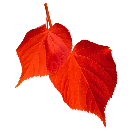 basswood: Red linden-tree leafs isolated on white background Stock Photo