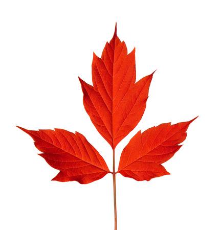acer: Red acer negundo leaf. Isolated on white background.