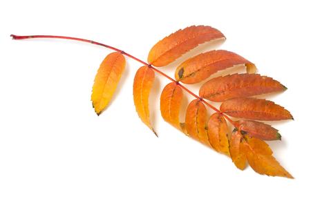 wizened: Autumn leaf of rowan isolated on white background. Selective focus Stock Photo