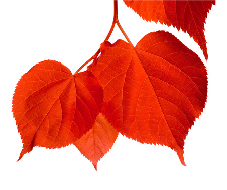 basswood: Red linden-tree leafs. Isolated on white background