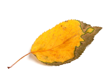 serrate: Autumn leaf isolated on white background. Close-up view.