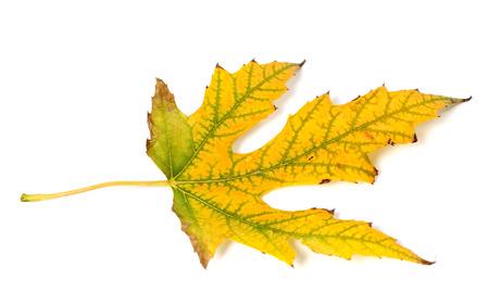 wizened: Autumn leaf isolated on white background