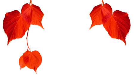 Red tilia leaves isolated on white background with copy space