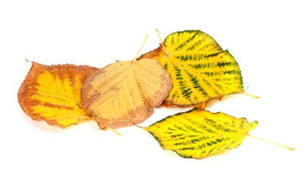 serrate: Autumn multicolored leafs. Isolated on white background.