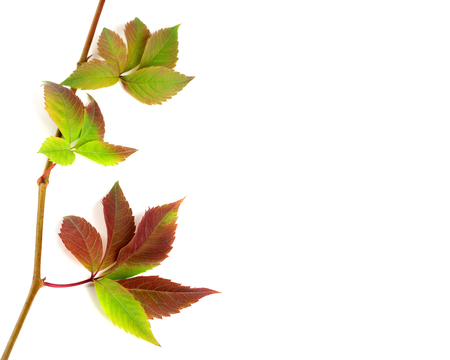 fallen leaves: Multicolor autumnal twig of grapes leaves, parthenocissus quinquefolia foliage. Isolated on white background with copy space Stock Photo