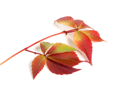 Branch of autumn red grapes leaves (Parthenocissus quinquefolia foliage). Isolated on white background.