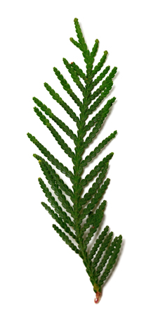thuja occidentalis: Thuja branch isolated on white background. Selective focus. Stock Photo