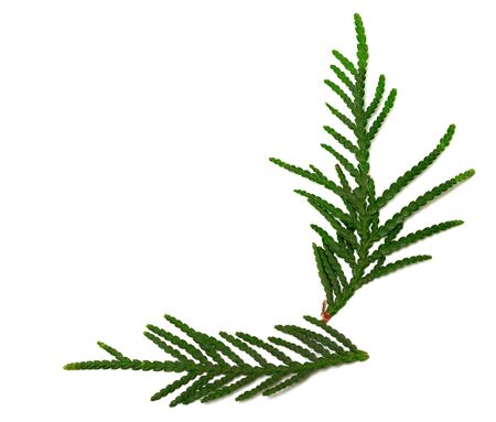 design objects: Green twigs of thuja isolated on white background with copy space