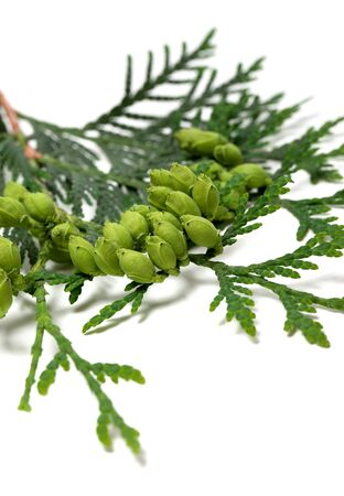 thuja occidentalis: Green cones on twig of thuja isolated on white background. Selective focus.