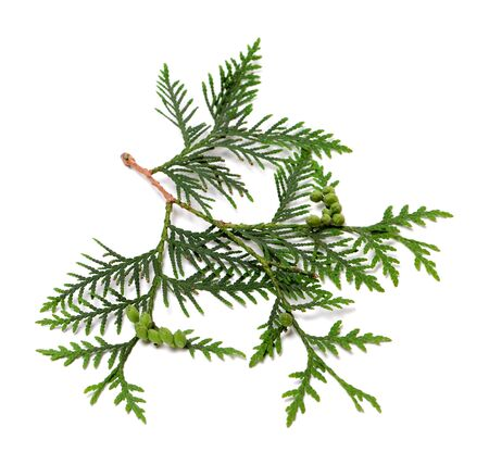 thuja occidentalis: Ttwig of thuja with green cones. Isolated on white background