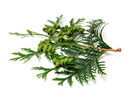 thuja occidentalis: Green twig of thuja with cones isolated on white background. Selective focus.