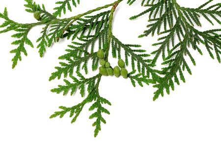 thuja occidentalis: Thuja twig with green cones isolated on white background Stock Photo