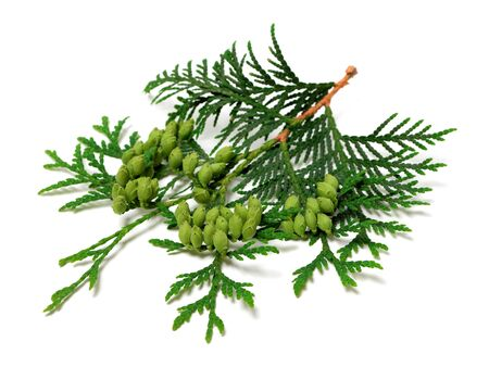 thuja occidentalis: Green twig of thuja with cones isolated on white background.