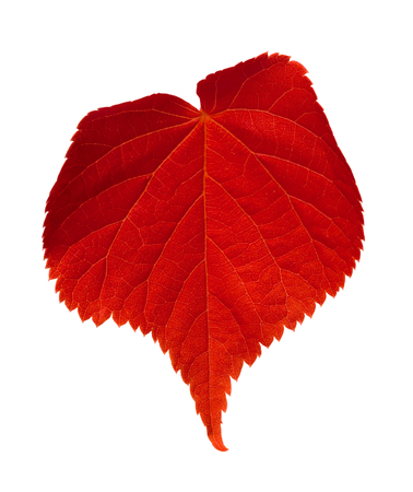 tilia: Red tilia leaf. Isolated on white background