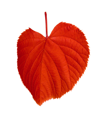 tilia: Red tilia leaf isolated on white background