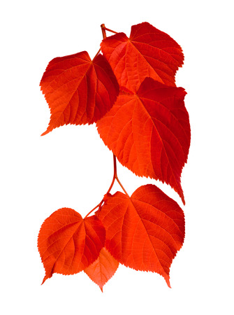 tilia: Red tilia leafs isolated on white background Stock Photo