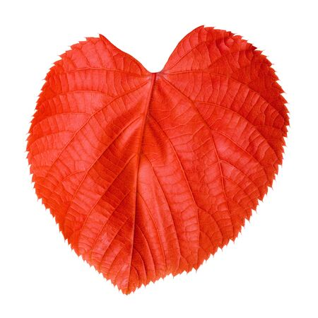 basswood: Red linden-tree leaf isolated on white background