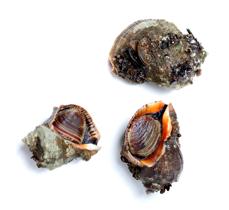 veined: Three veined rapa whelk isolated on white background. Top view.
