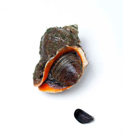 rapa: Veined rapa whelk and small mussel. Isolated on white background.