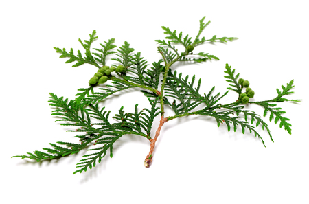 Green twig of thuja with cones. Isolated on white background.
