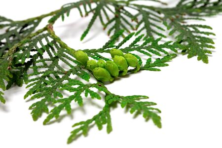thuja occidentalis: Twig of thuja with green cones isolated on white background. Selective focus on cones.