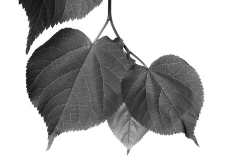 basswood: Black and white linden-tree leafs isolated on white background