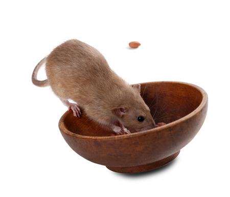 norvegicus: Brown fancy rat (Rattus norvegicus) eating peanuts from plate. Isolated on white background.