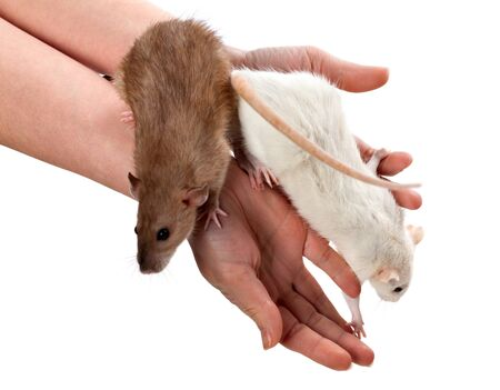 norvegicus: White and brown rats on hands. Isolated on white background. Stock Photo