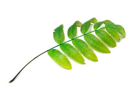 serrate: Green rowan leaf. Isolated on white background Stock Photo