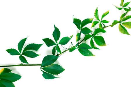 Ramo di foglie di uva verde. Fogliame di Parthenocissus quinquefolia. Isolato su sfondo bianco