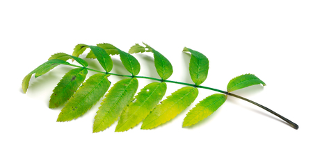 serrate: Rowan leaves isolated on white background