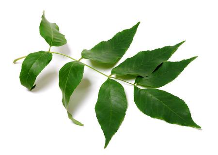 Foglie verdi di frassino. Isolato su sfondo bianco.