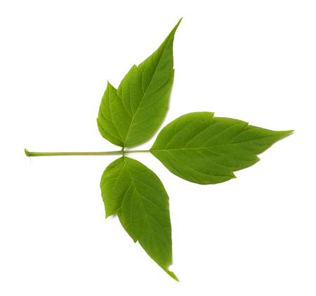 three leaved: Green maple ash (acer negundo) leaf. Isolated on white background. Stock Photo