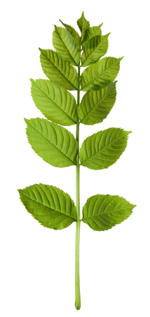 sorbus: Spring sorbus leaves isolated on white background