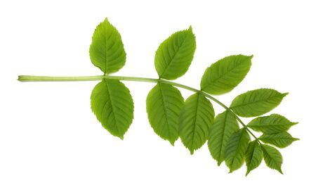 sorbus: Green sorbus leaves. Isolated on white background