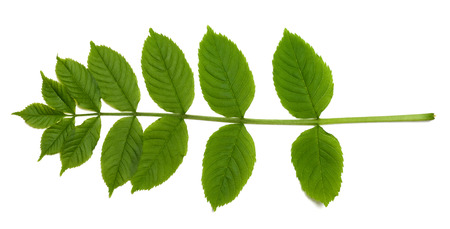 sorbus: Spring sorbus leaves. Isolated on white background Stock Photo