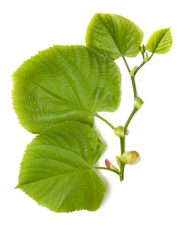basswood: Spring tilia leaves. Isolated on white background
