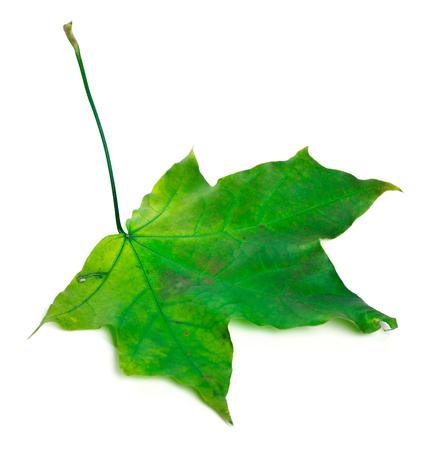 wizened: Green maple leaf. Isolated on white background.