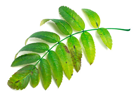 wizened: Green rowan leaves isolated on white background