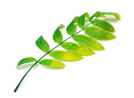 wizened: Multicolor rowan leaf isolated on white background
