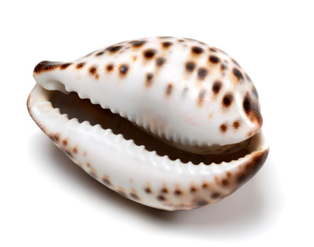 tigris: Shell of Cypraea tigris isolated on white background. Close-up view. Stock Photo