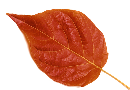 Autumn leaf isolated on white background. Close-up view.