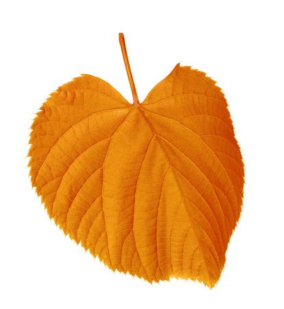 tilia: Autumn tilia leaf isolated on white background