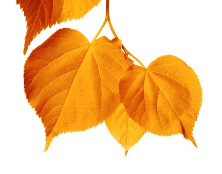 basswood: Autumnal sunlight leafs isolated on white background. Stock Photo