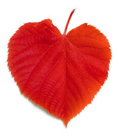 basswood: Red tilia leaf isolated on white background